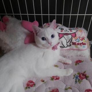 5歳、真っ白で美人の猫ちゃんです!