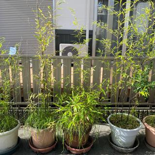 取引中です  黒竹 鉢植え 12鉢
