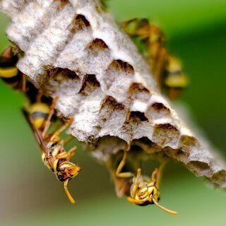 チ駆除🐝激安退治🔐スズメバチ、アシナガバチ、ミツバチ等