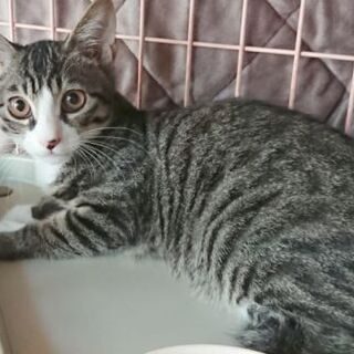 キジ白のオス子猫生後4ヶ月