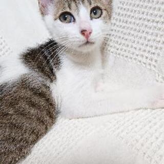 キジ白猫雄のマイケルちゃんの里親募集