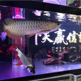 大型水槽 150cm 熱帯魚 アロワナ飼育
