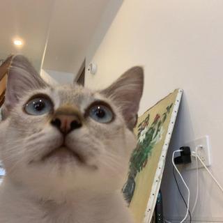 オスの子猫(シャムっぽい)
