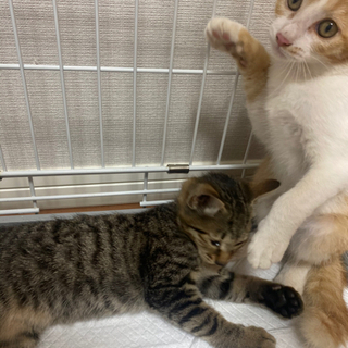子猫 1ヶ月半
