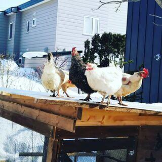 鶏 雑種 雌2匹 3歳