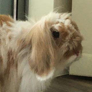 ウサギ うさぎ 兎 アメリカンファジーロップ 2歳