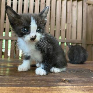募集終了しました ハチワレとサビの子猫3匹 - 猫