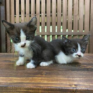 募集終了しました ハチワレとサビの子猫3匹の画像