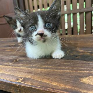 募集終了しました ハチワレとサビの子猫3匹 − 京都府
