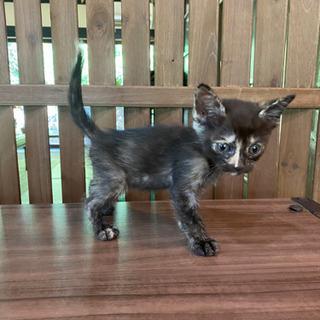 募集終了しました ハチワレとサビの子猫3匹 - 南丹市