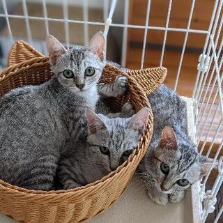 保護猫 サバトラ親子 仲良し三兄弟