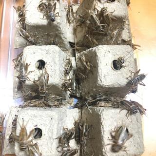 ヨーロッパイエコオロギ(成虫)