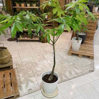 パキラ!高さ145cm、葉っぱボリューム満点!