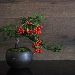 現代インテリアにあうモダン盆栽教室 ~十月桜と実盆栽~