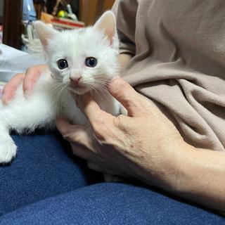 生後1か月子猫