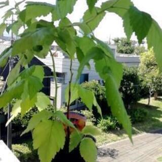ラズベリー苗55 センチ苗(イエローラズベリー)