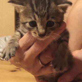 オスメス子猫きょうだい✨4匹います★生後1ヶ月★黒/キジシロ/キジトラ