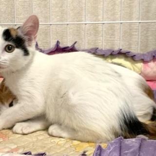可愛いミケ猫です♪ - 名古屋市