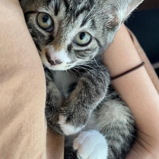 なでなで、抱っこ大好き、お鼻にミッキー模様のあるミントちゃん。約2ヶ月
