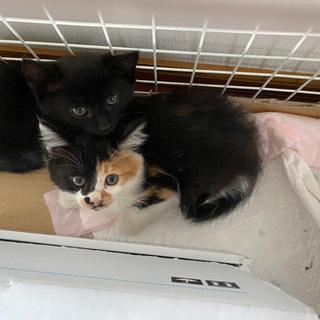 子猫 三毛猫 生後7週