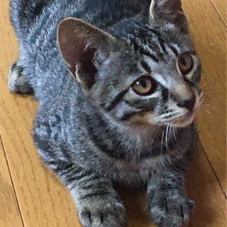 子猫/オス/生後約3ヶ月