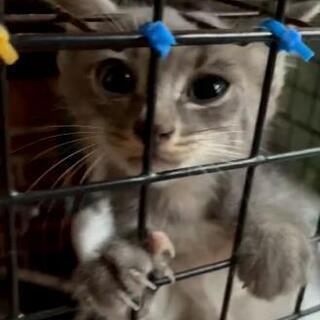 珍しいグレー虎の子猫。イケメンです。