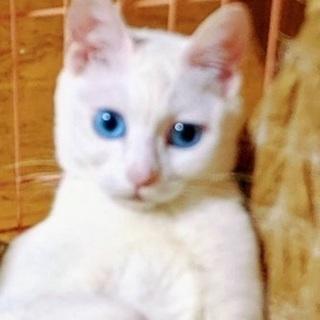 目の青い白雪ちゃん、1才。
