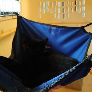 かわいい黒猫ちゃん3ヶ月 島のばあばいわく尾長美人で因島や佐木島...