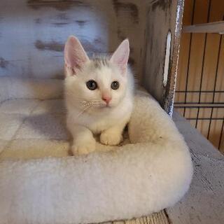 ★ご家族が決まりました😊生後3ヵ月位 白猫ちゃん 男の子