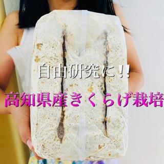8/15迄の限定「仁淀川きくらげの自宅栽培キット」販売中!