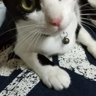 ハチワレ猫のはるるくんの画像