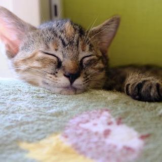 【なぎさ】額にビンディ!キジっぽいサビの子猫ちゃん🌊海っこ5