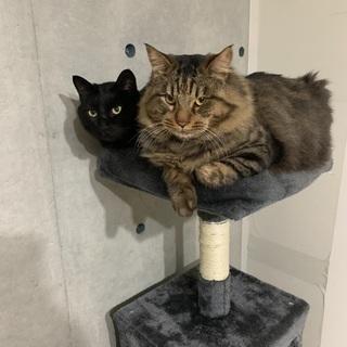 2歳の仲良し兄弟の黒猫♂、キジトラ♂の里親募集