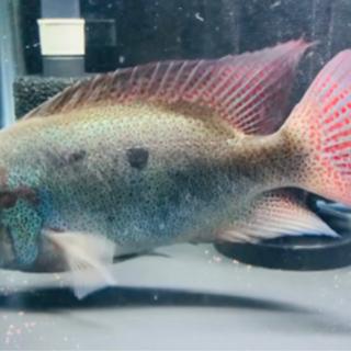 F1ヴィエジャレガニ 22cm± シクリッド 熱帯魚 ダトニオ ...