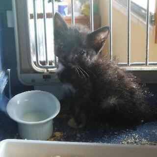 一ヶ月の手のひらサイズ、顔に少しサビ、胸元にエンジェルマークの子猫