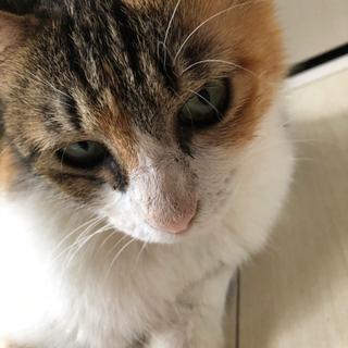 迷子猫*三毛の女の子(赤い首輪)家族として受け入れお願いいたします。