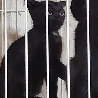 2ヶ月のツキノワグマ柄(首元と胸とお腹のエンジェルマーク)の子猫