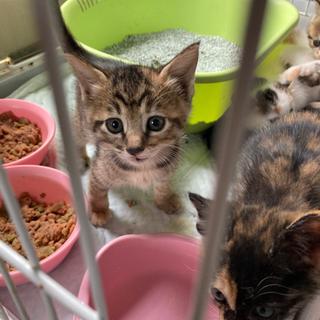 1か月半の仔猫の募集⭐︎人にべったりな女の子⭐︎