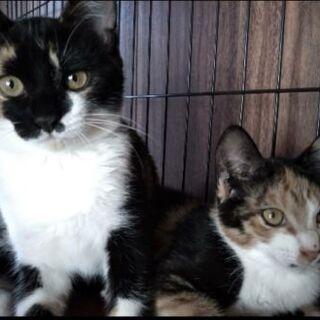 個性的な三毛姉妹子猫