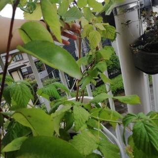ラズベリー苗木1m 大プラ鉢植替え済