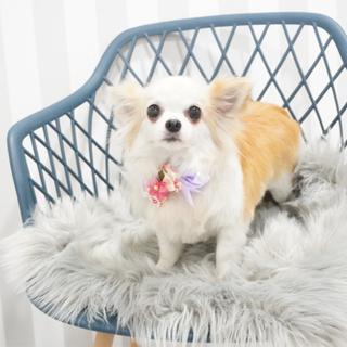 チャンピオン犬チワワレッド&ホワイトの女の子