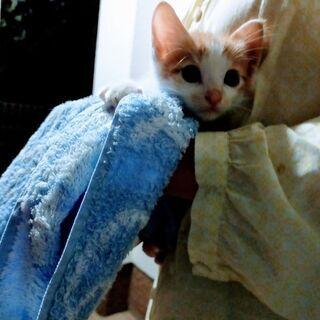 【一時停止】生後1か月の子猫の里親募集!!