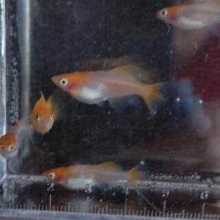 めだか プラチナ牡丹 稚魚、若魚5匹