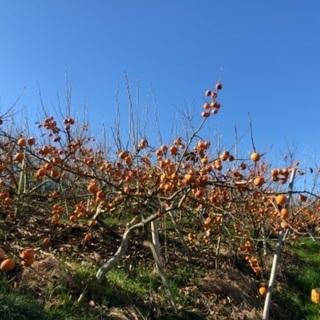 柿🌳キウイフルーツ🥝の収穫作業をしていただける方を募集してます✨