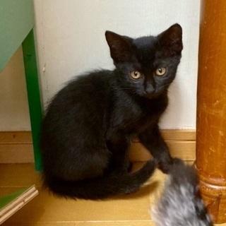 黒猫ファンの皆様おまたせしました 姫ちゃん♀2ヶ月半