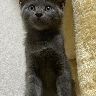 9/26譲渡会!綺麗なグレー&黒の子猫兄弟2ヶ月