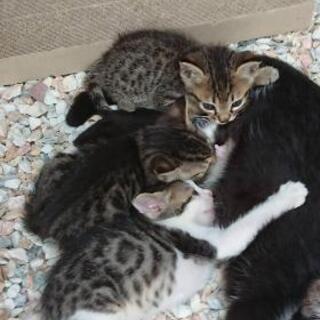 ハチワレ母猫と子猫オス