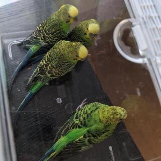 セキセイインコ 4羽 成鳥