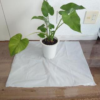 2  クワズイモ 観葉植物
