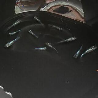 【メダカ】ドラゴンブルー 稚魚~若魚